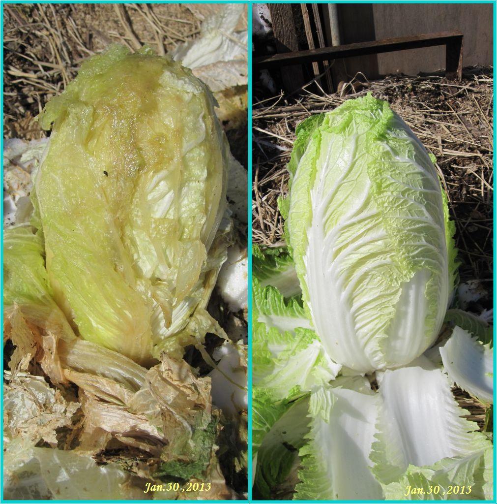 画像2(収穫した白菜)