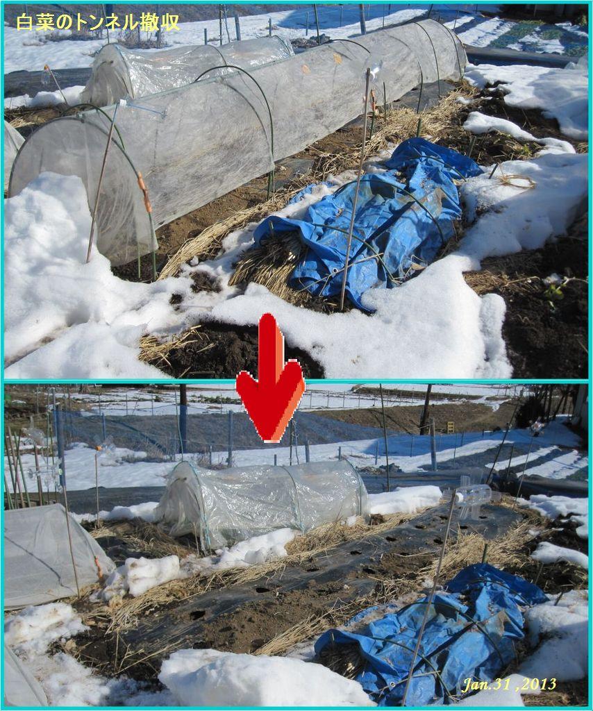 画像3(白菜のトンネル撤収)