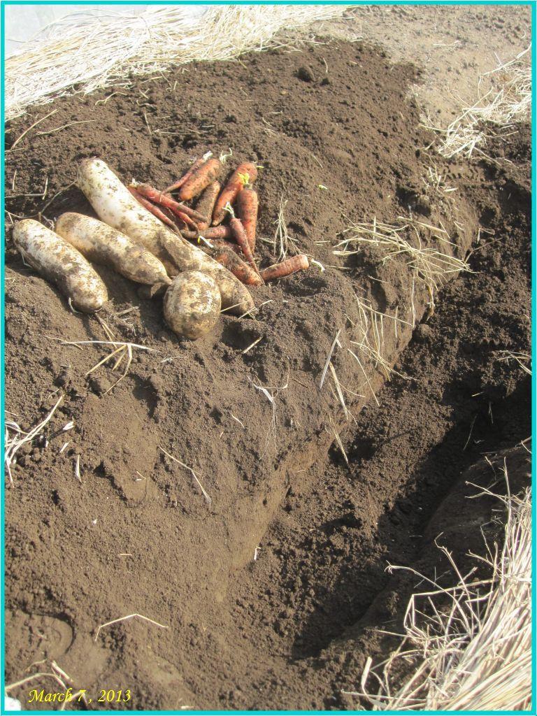 画像1(地中保存の野菜の掘り出し)