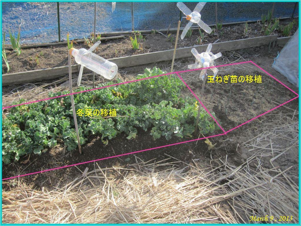 画像4(移植した冬菜)