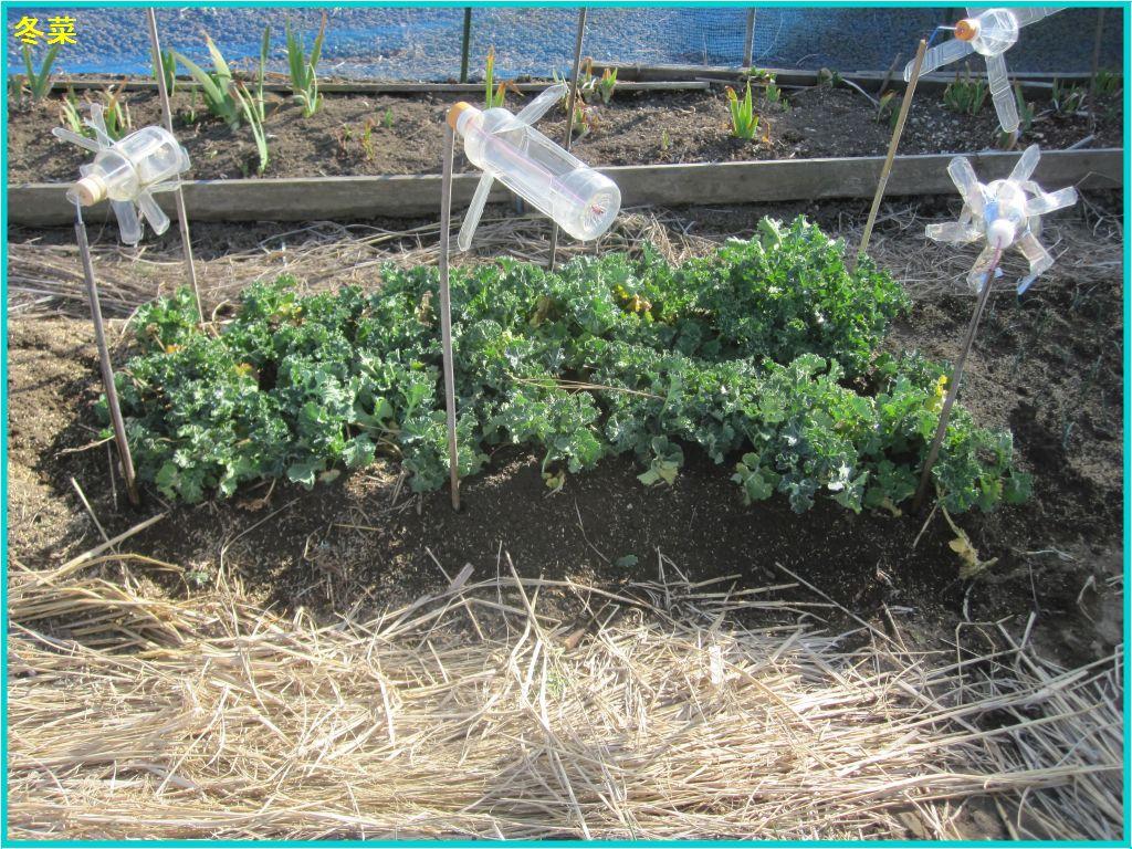 画像3(1週間前に移植した冬菜)