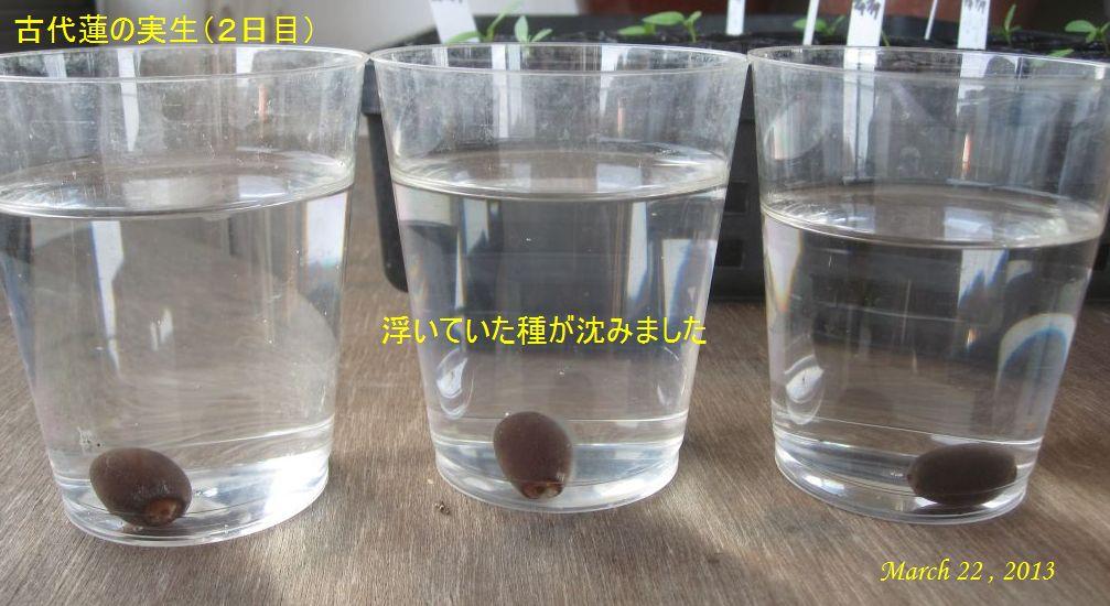画像3(蓮の実生2日目)