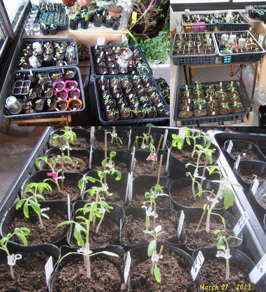 画像3(育苗中のトマト、キュウリ、茄子など)