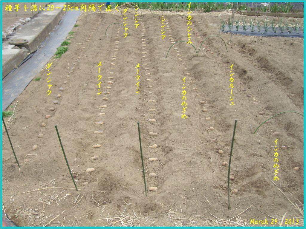 画像5(種芋を溝に置く)