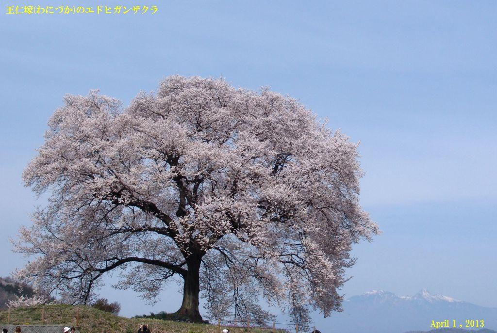 画像1(王仁塚のエドヒガンザクラ)