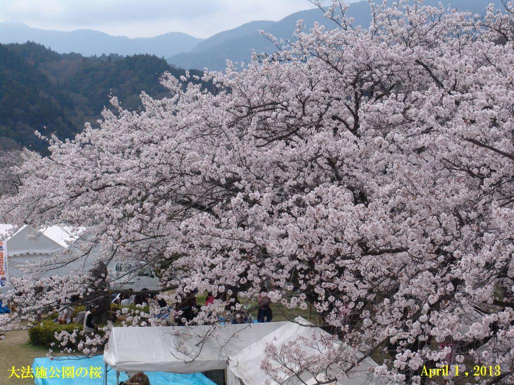 画像6(大法師公園の桜)