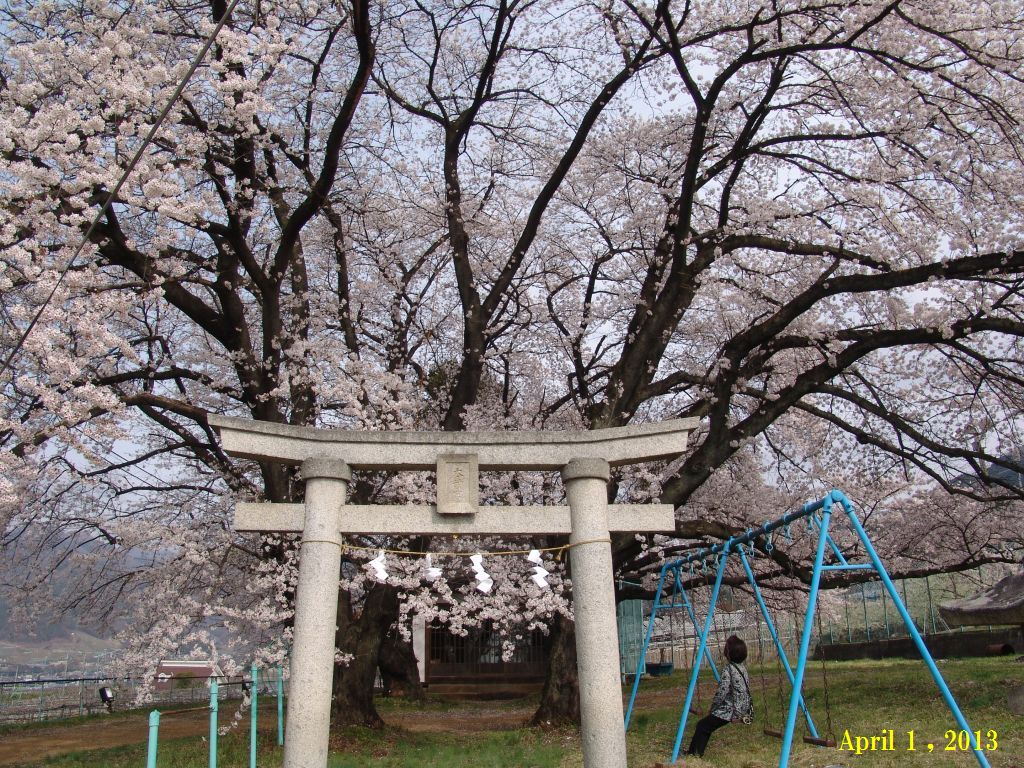 画像7(SA近くの桜)