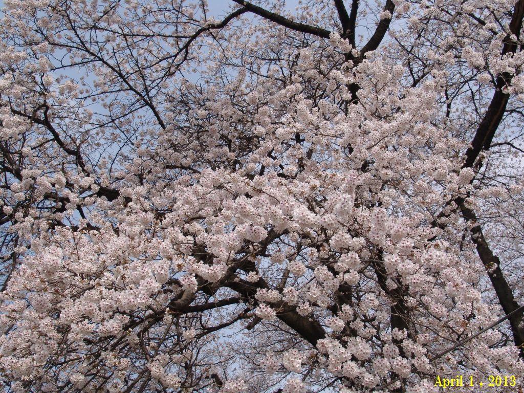 画像9(SA近くの桜)