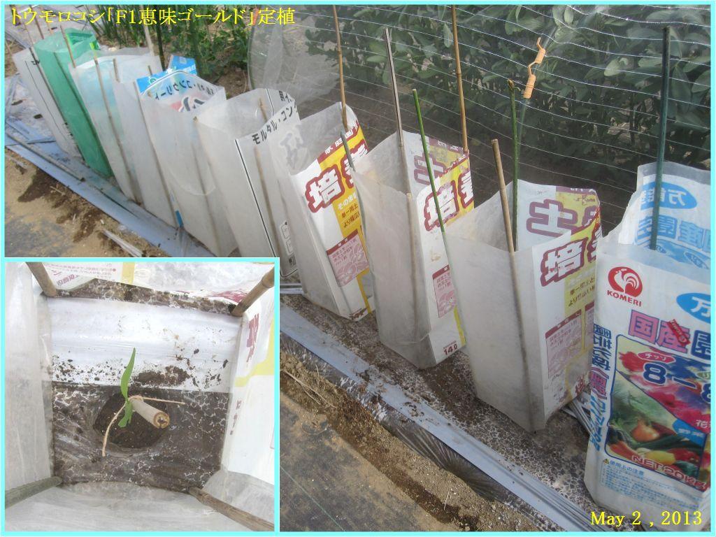 画像3(トウモロコシの定植)