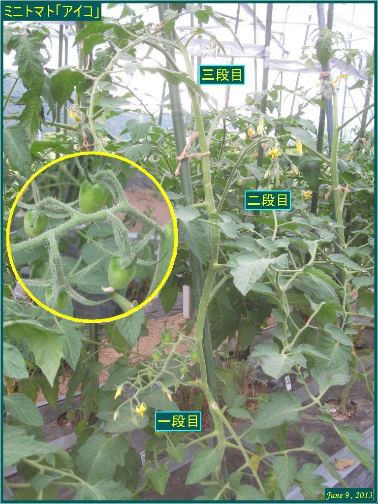 画像2(ミニトマト「アイコ」の花)