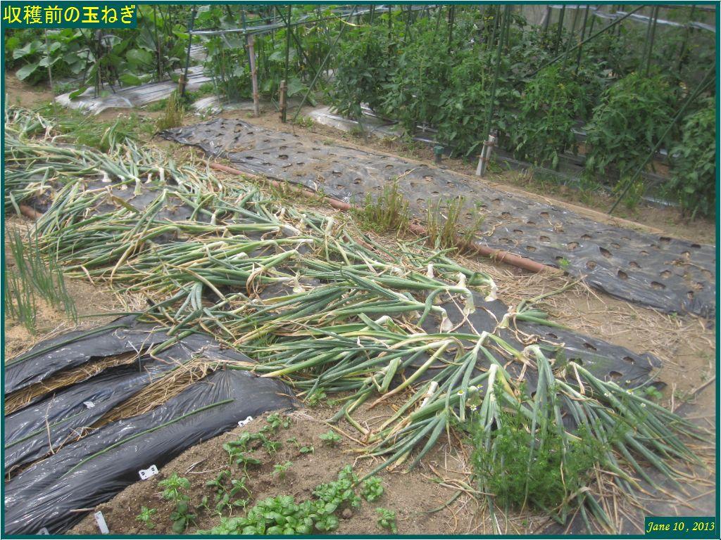 画像1(収穫前の玉ねぎ畑)