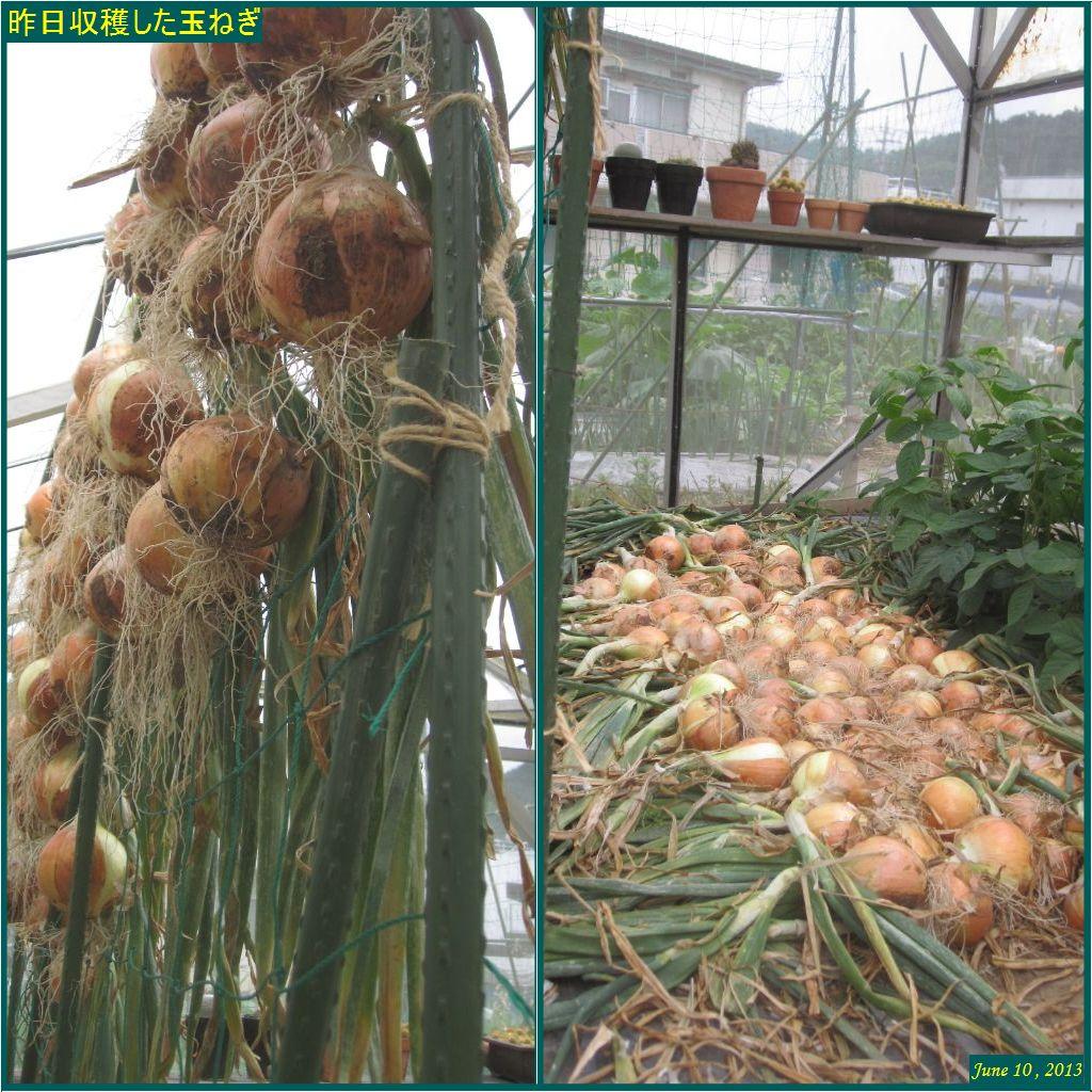 画像3(昨日収穫した玉ねぎ)