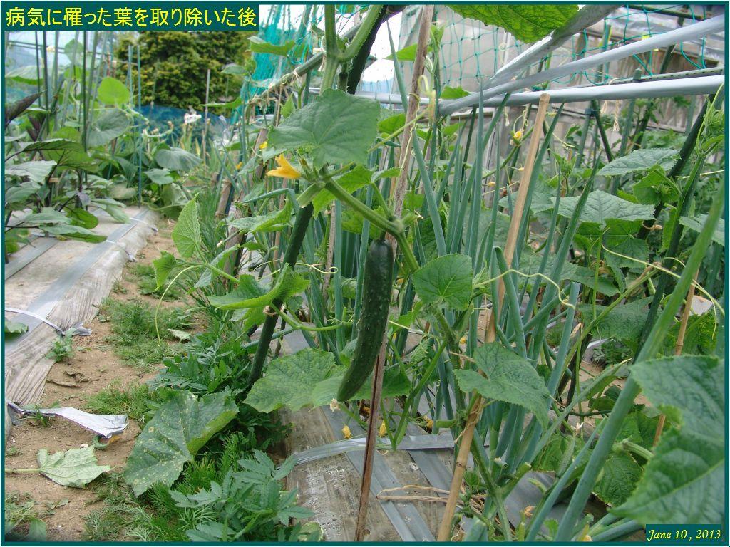 画像5(ベト病の葉を取り除いた後のキュウリ畝)