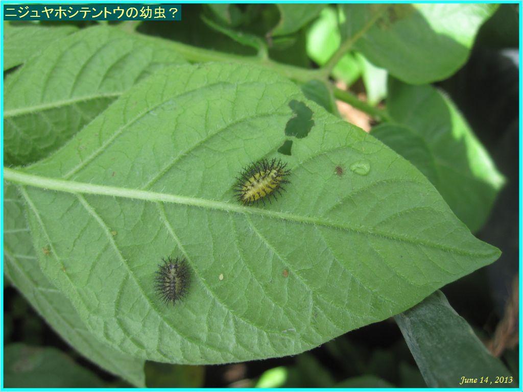 画像2(ニジュウヤホシテントウの幼虫)