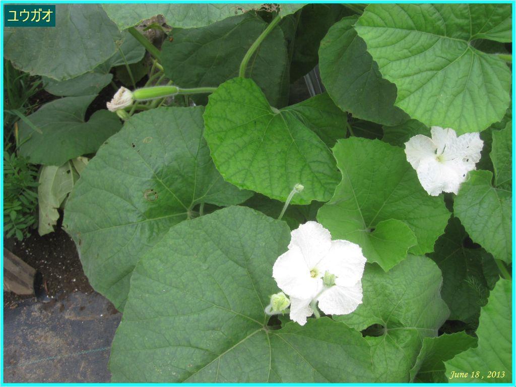 画像2(ユウガオの花)