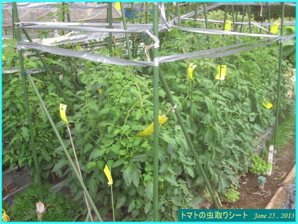 画像1(トマトの虫取りシート)