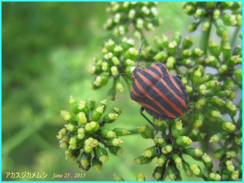 画像7(パセリの花とアカスジカメムシ)