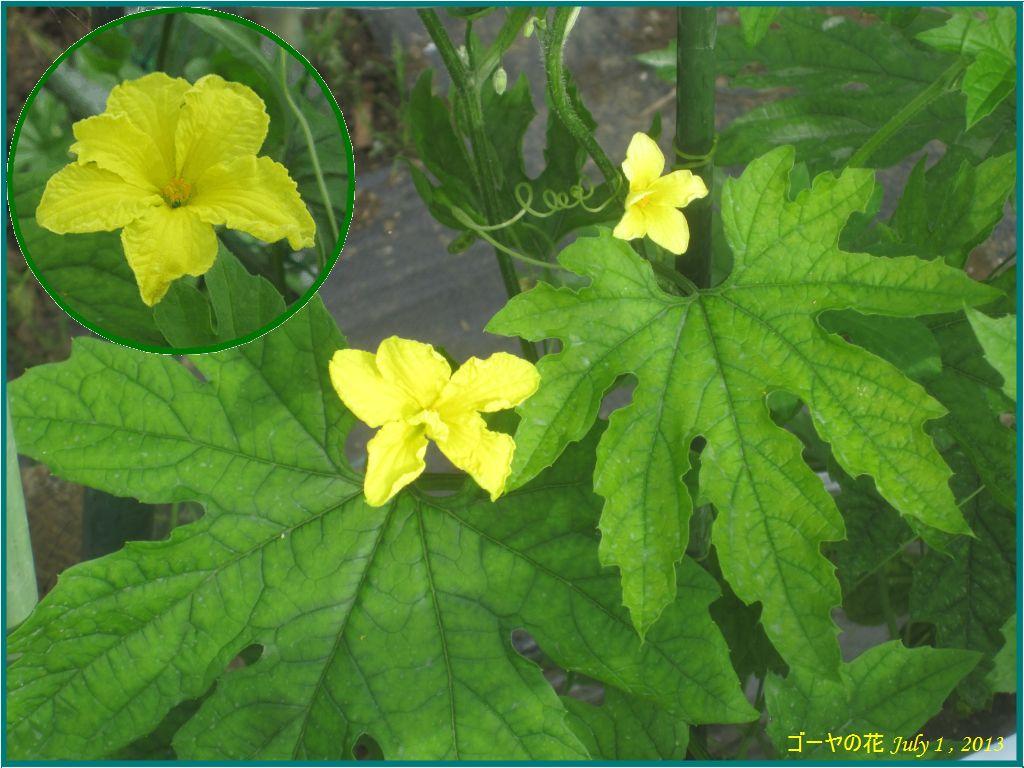 画像1(ゴーヤの花)