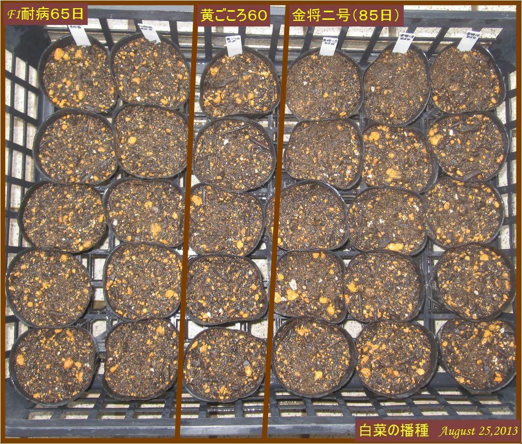 画像1(白菜の播種)