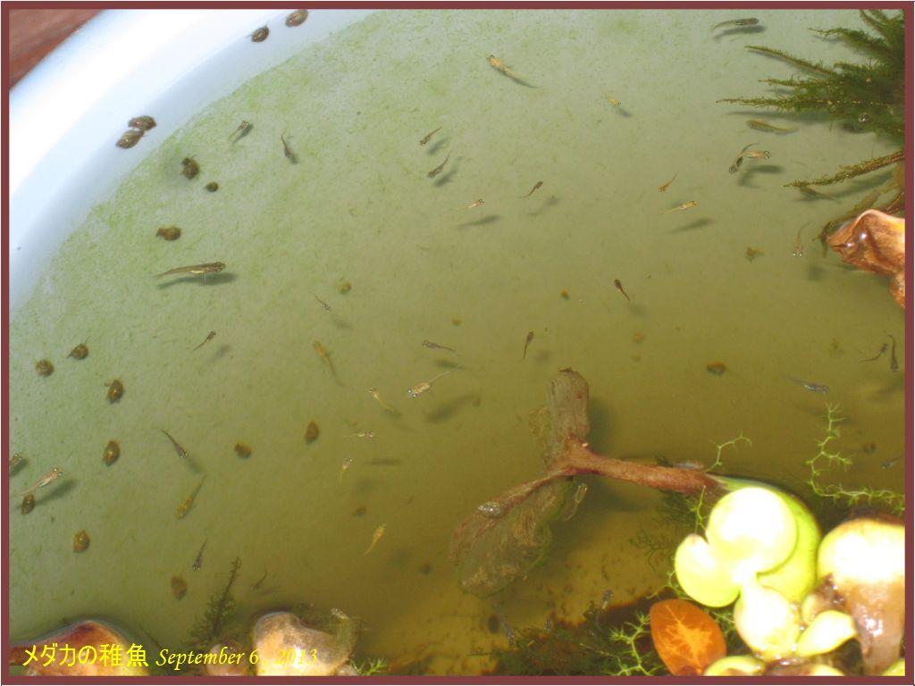 画像1(メダカの稚魚)