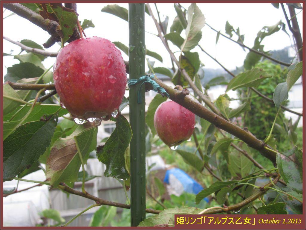 画像1(姫リンゴ「アルプス乙女」)
