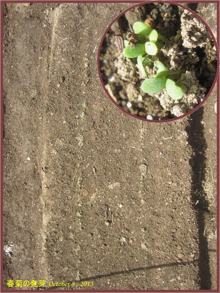 画像2(春菊の発芽)