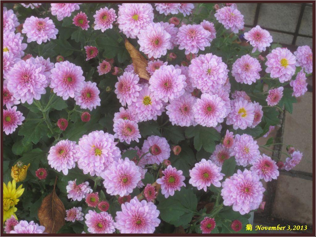 画像5(菊)