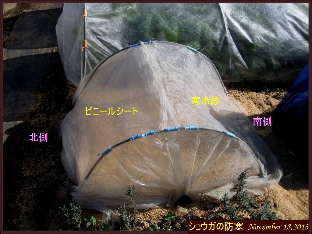 画像7(ショウガの防寒トンネル)