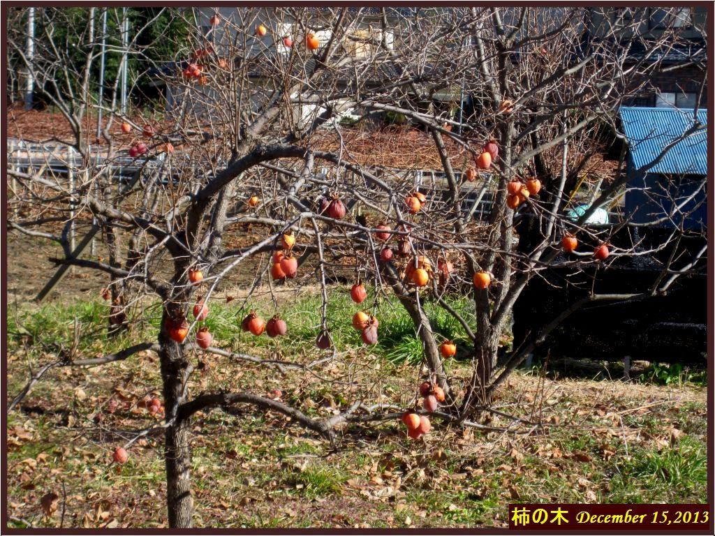 画像5(柿の木)