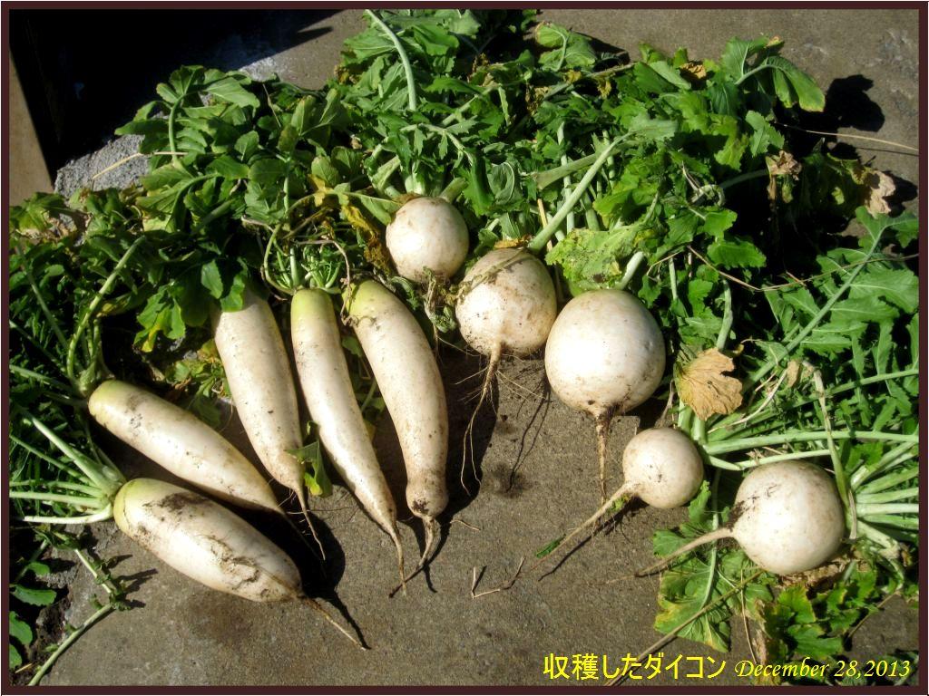画像4(大根の収穫)