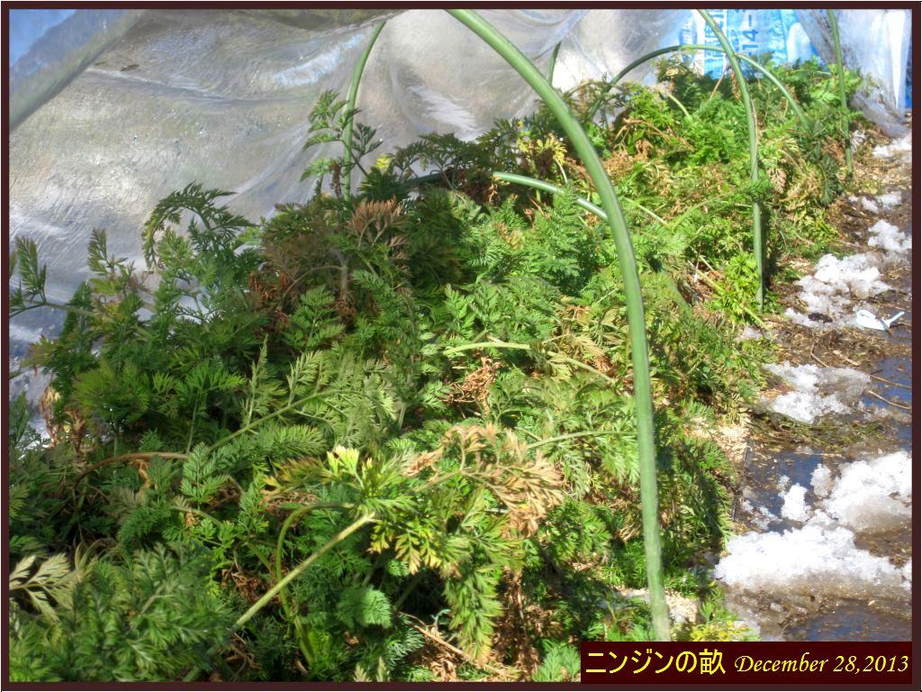 画像5(ニンジンの収穫)