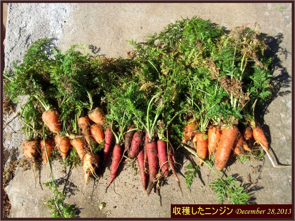 画像6(ニンジンの収穫)
