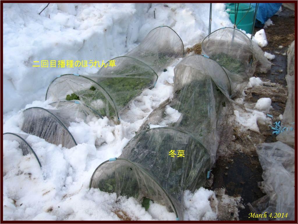 画像3(二回目播種のほうれん草と冬菜)