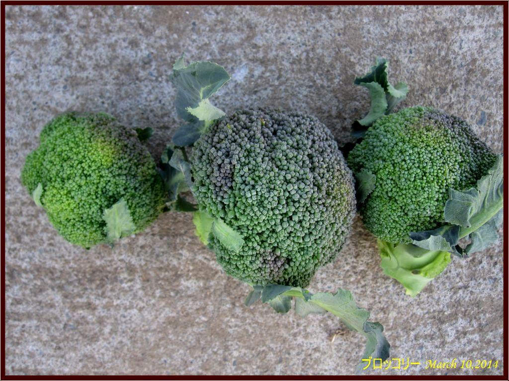 画像2(収穫したブロッコリー)