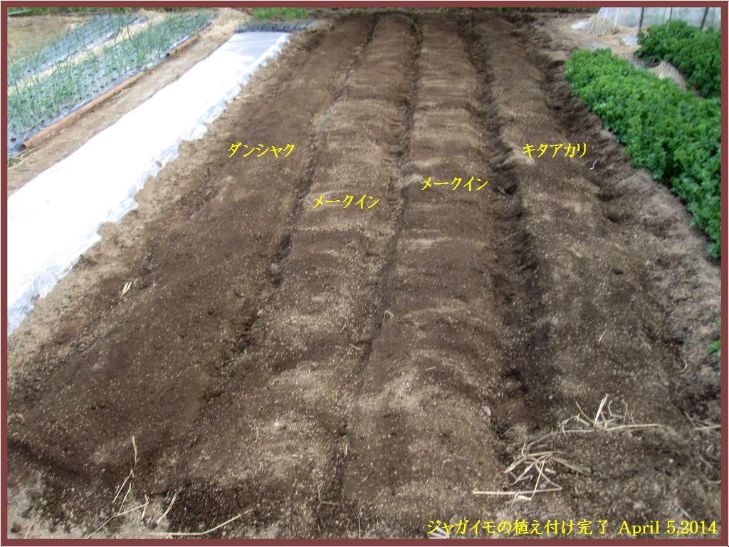 画像3(ジャガイモの植え付け完了)