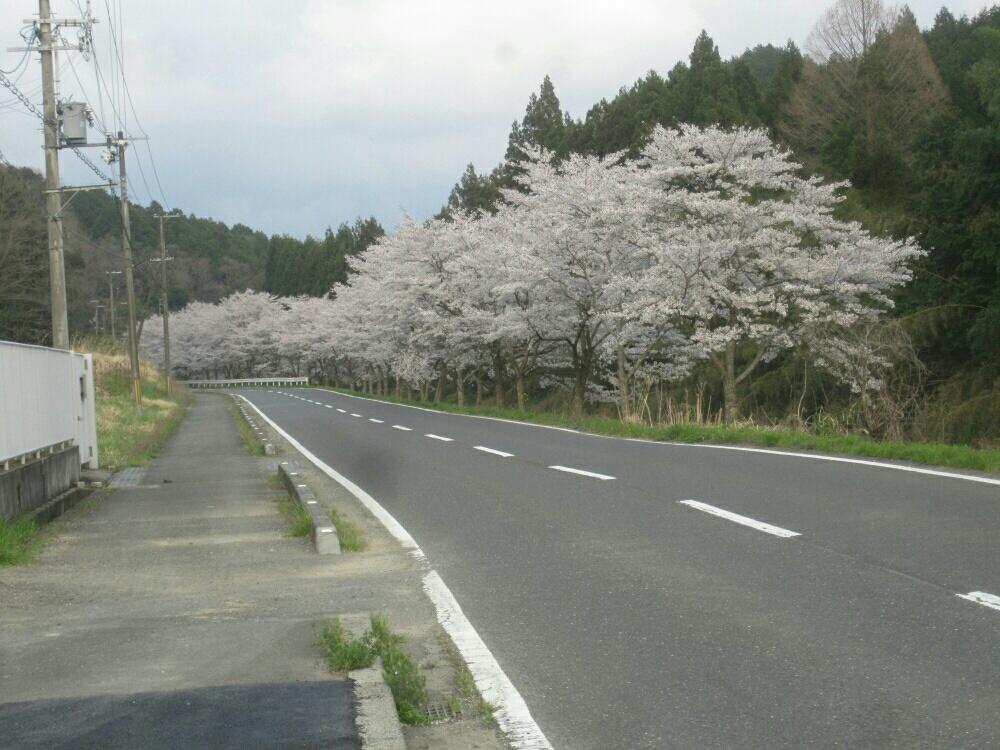 画像1 桜