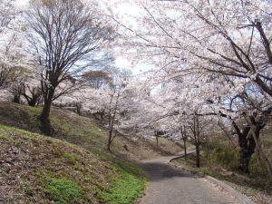 画像2(鹿留発電所の桜)