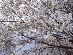 画像3(鹿留発電所の桜)