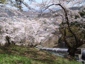 画像6(鹿留発電所の桜)