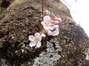 画像9(鹿留発電所の桜)