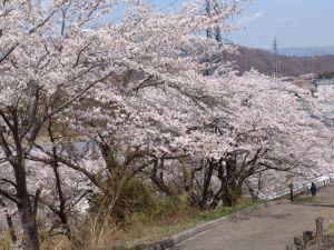 画像10(鹿留発電所の桜)