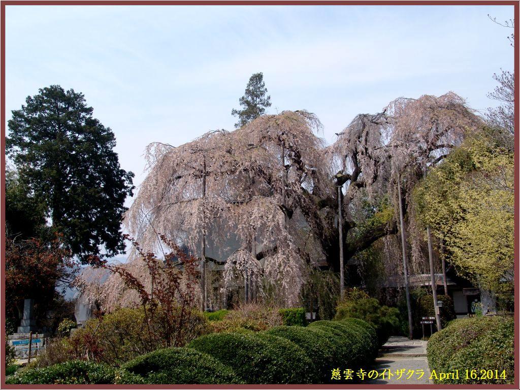 画像2(慈雲寺のイトザクラ)