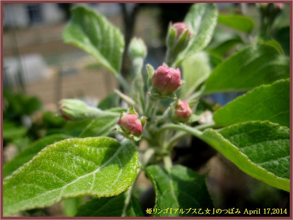 画像5(姫リンゴ「アルプス乙女」のつぼみ)