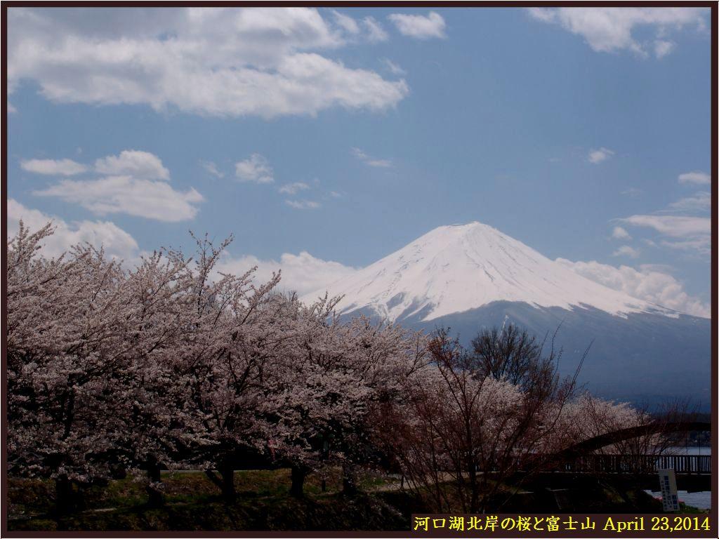 画像4(河口湖北岸の桜並木と富士山)