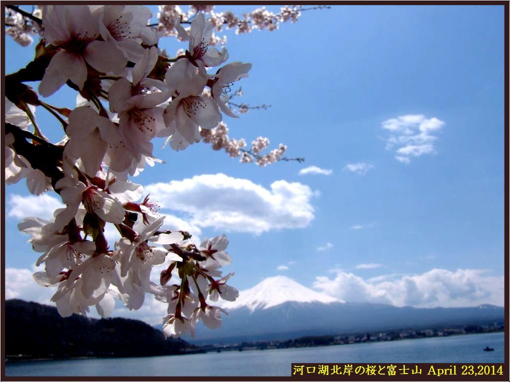 画像5(河口湖北岸の桜並木と富士山)