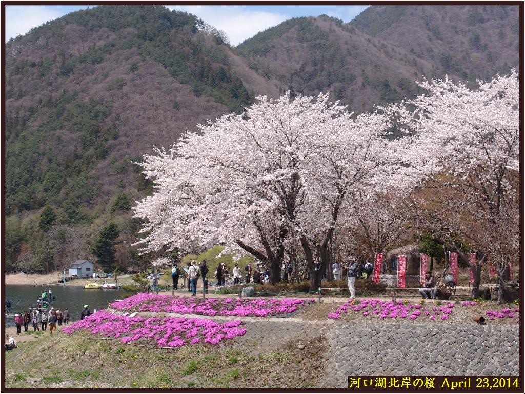 画像6(河口湖北岸の桜並木)