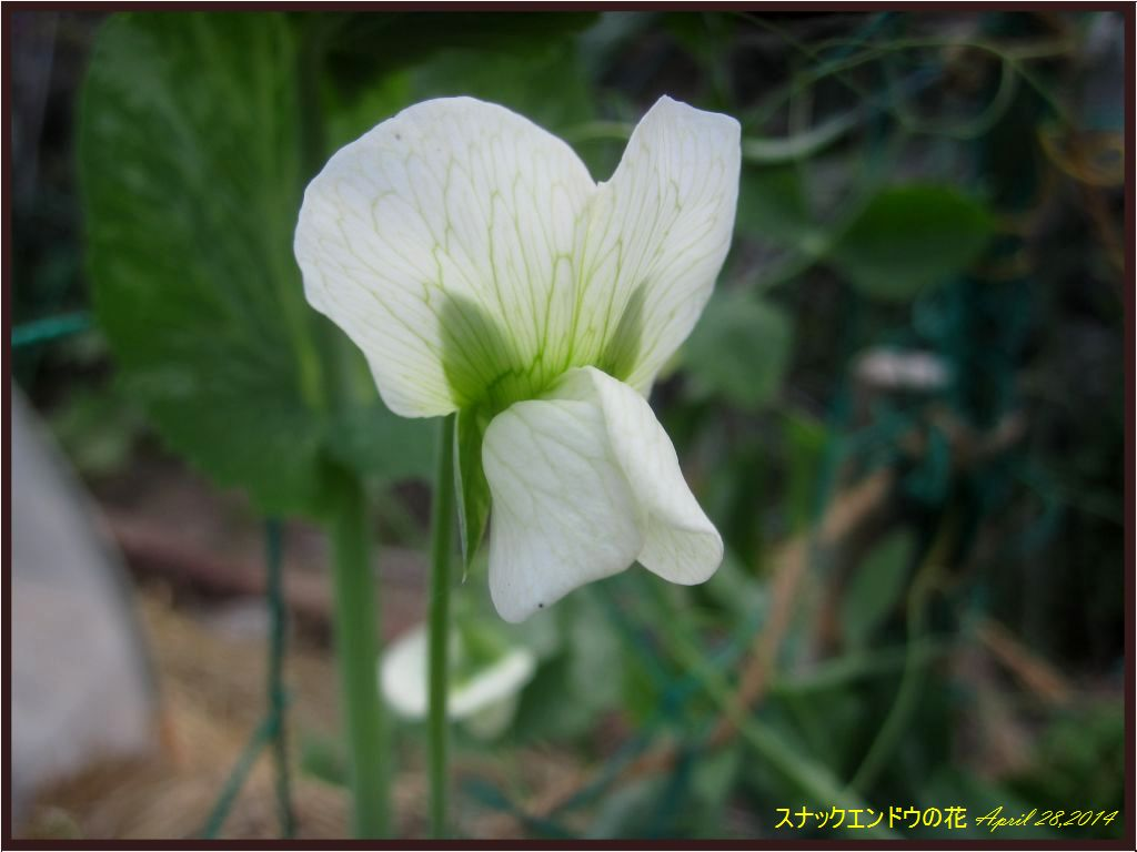画像3(スナックエンドウの花)