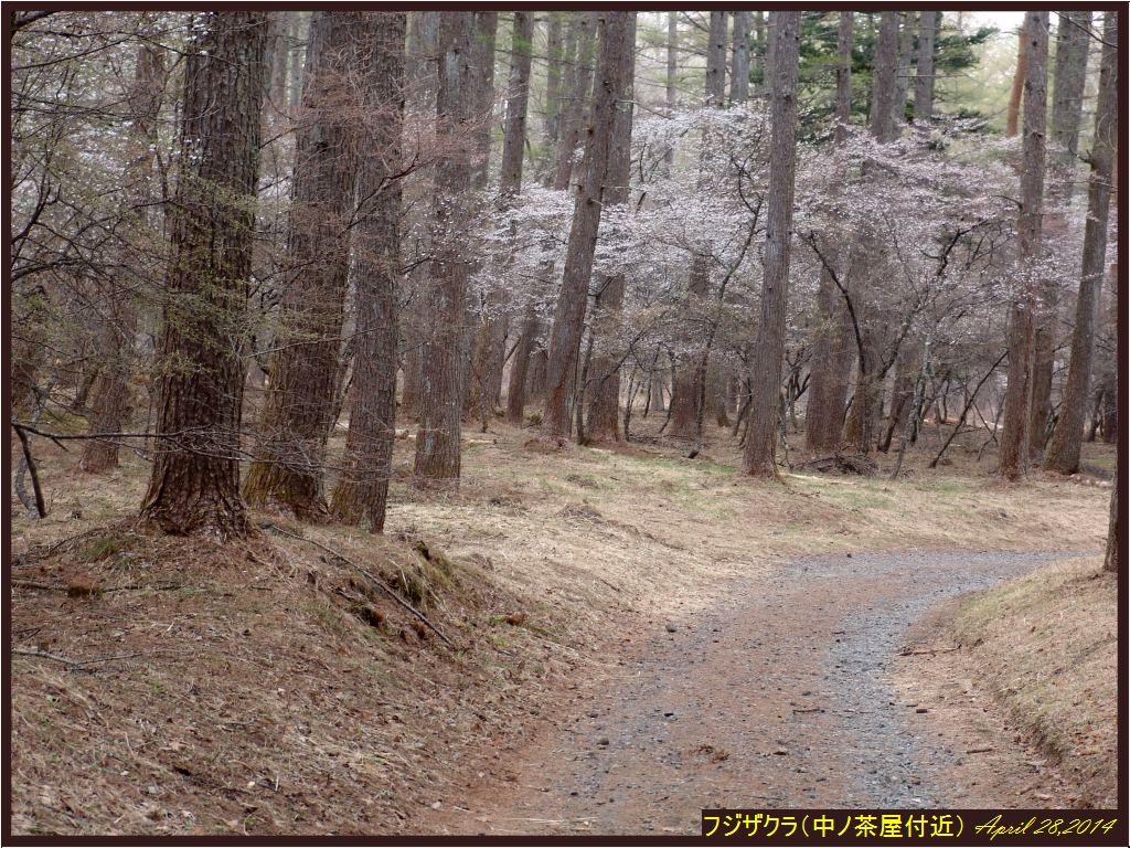 画像4(中ノ茶屋のフジザクラ)