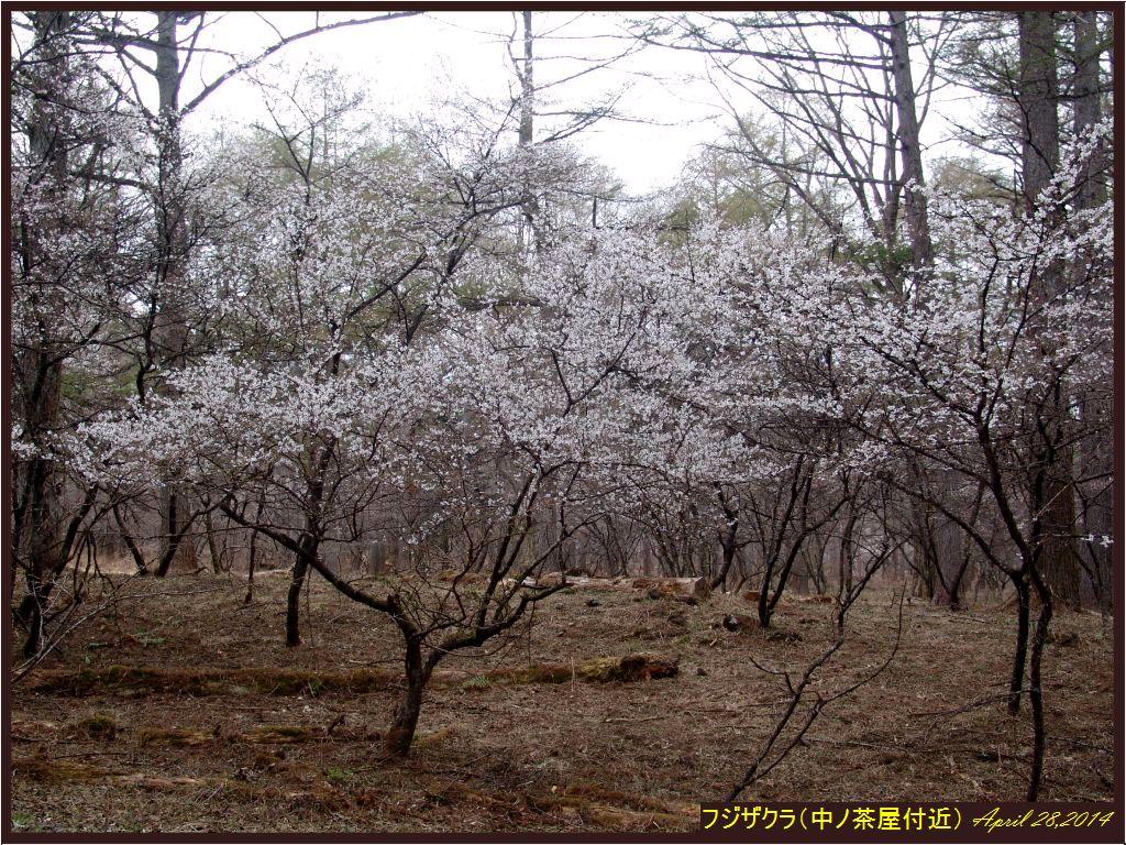 画像5(中ノ茶屋のフジザクラ)