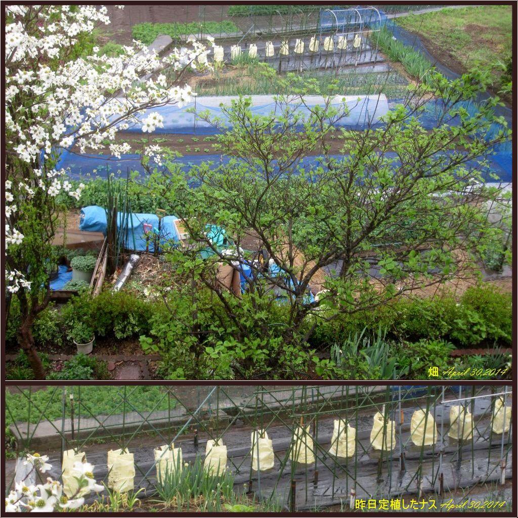 画像1(畑と定植したナス)